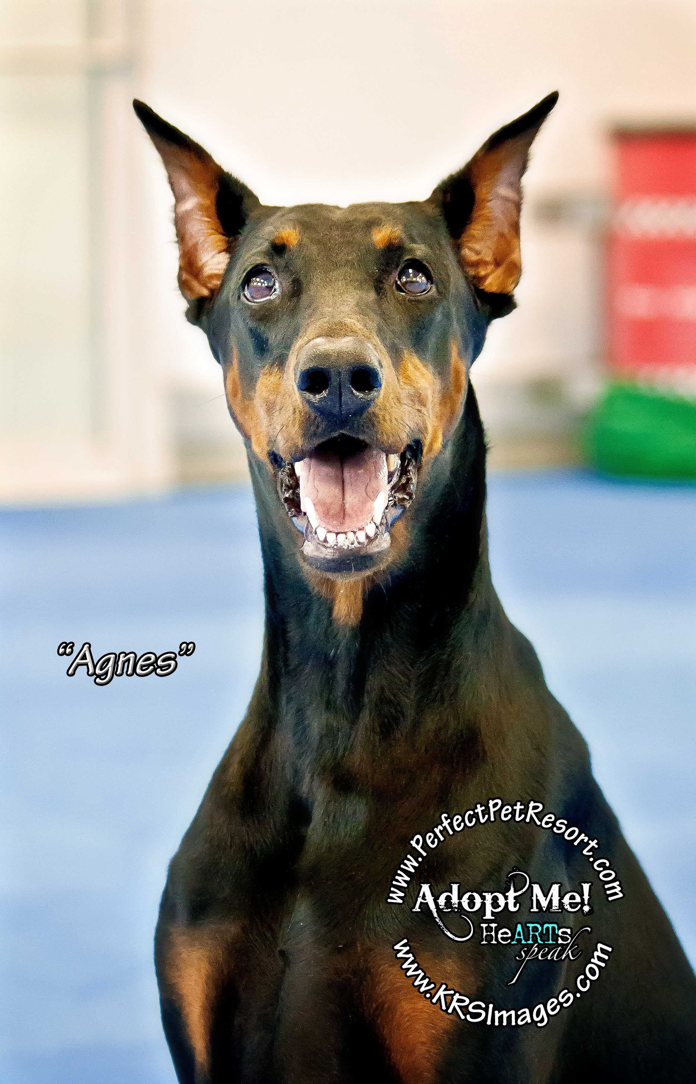 Agnes is a very elegant 4 year old doberman who is looking