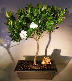 Flowering Gardenia Bonsai Tree Jasminoides Miami Supreme