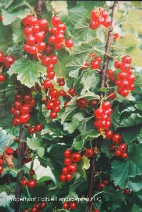 Cherry Red Currant Ribes Sativum Cherry Red Currant S