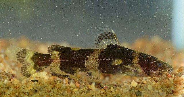 South American Bumblebee Catfish Profil Information Goodmorning Catfish Tank Catfish Catfish Fishing
