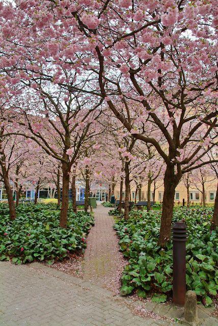 Prunus Accolade in Kista, Sweden. Photo by Lars Forslin. Kleine boom met overhangende twijgen en een brede, trechtervormige kroon met een hoogte van 6 - 8 m. De bladrand is gezaagd, de herfstkleur (oranje)geel, rood. Bloeit in april met circa 4 cm grote lichtroze hangende trosbloemen. Vochtige zonnige plaats.