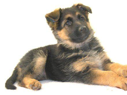 German Shepherd Puppies For Sale From German Import Parents