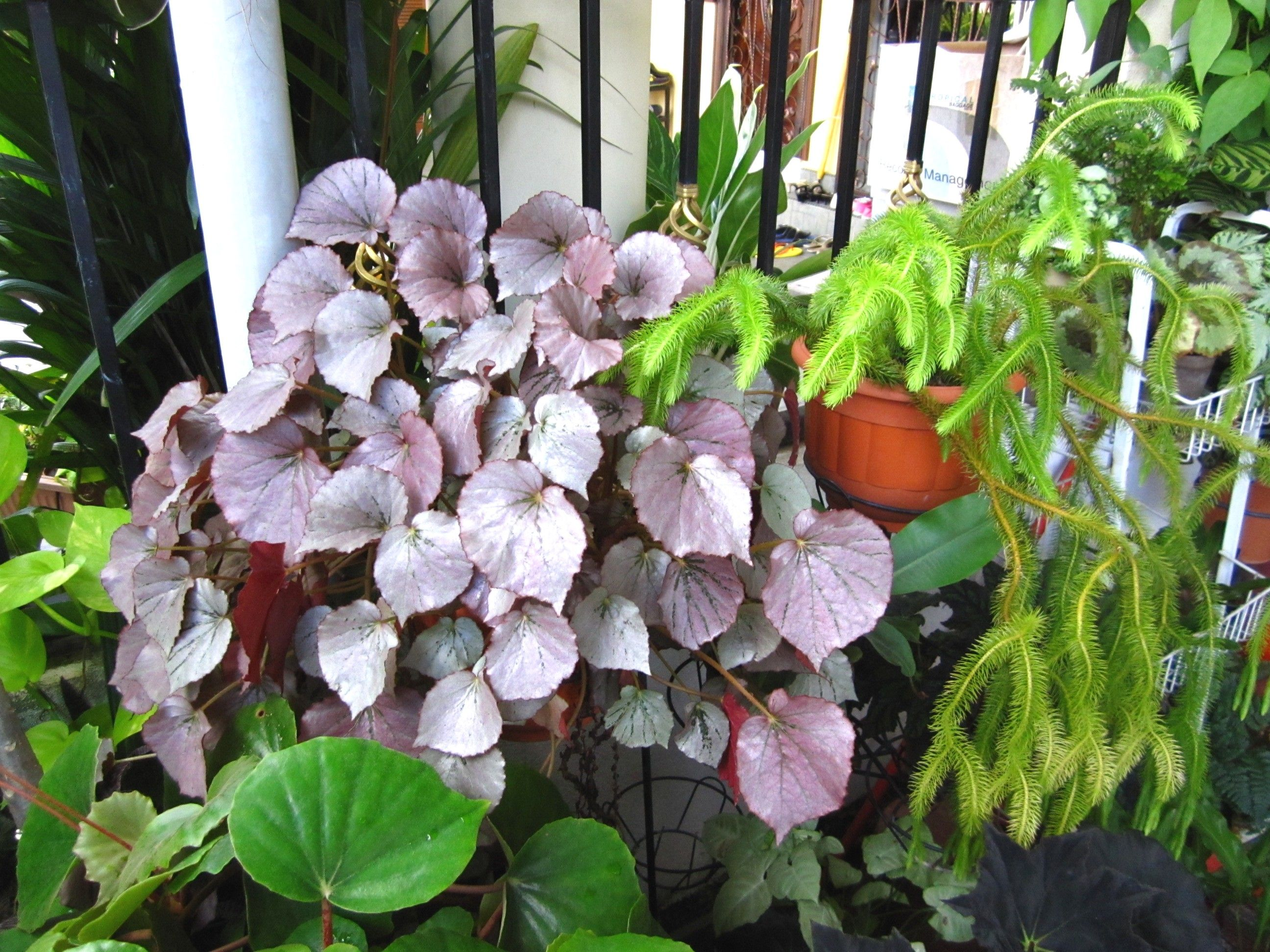 Begonia Fever Chapter 1 The Craze And The Collection Begonia Indoor Plants Plants