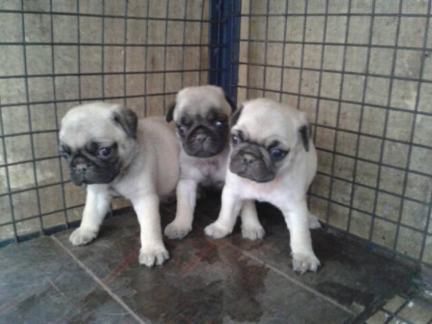 All4ads Original Pug Labrador German Shepherd Puppies At