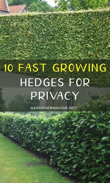 10 Fast Growing Hedges For Privacy Gardenersguide Gardening