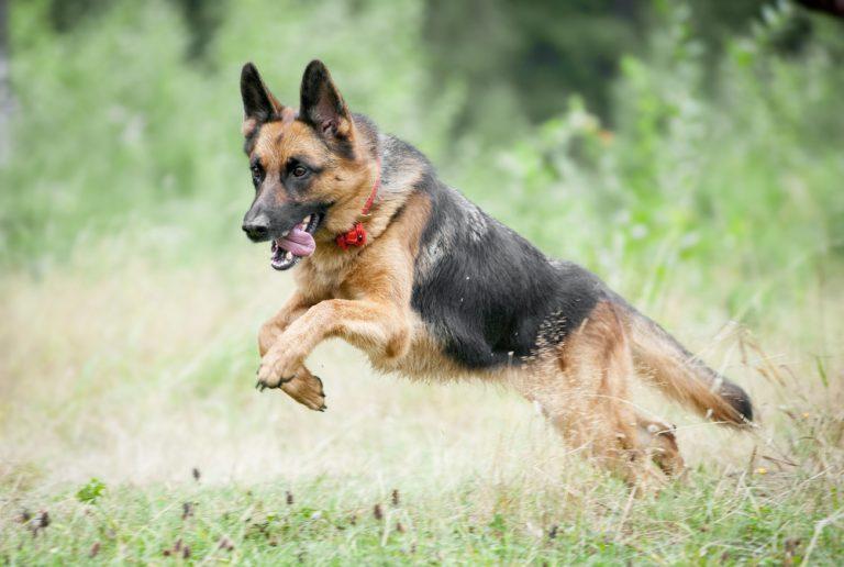 Deutscher Schäferhund, Rassehund, Rasse, Hund, Wiese