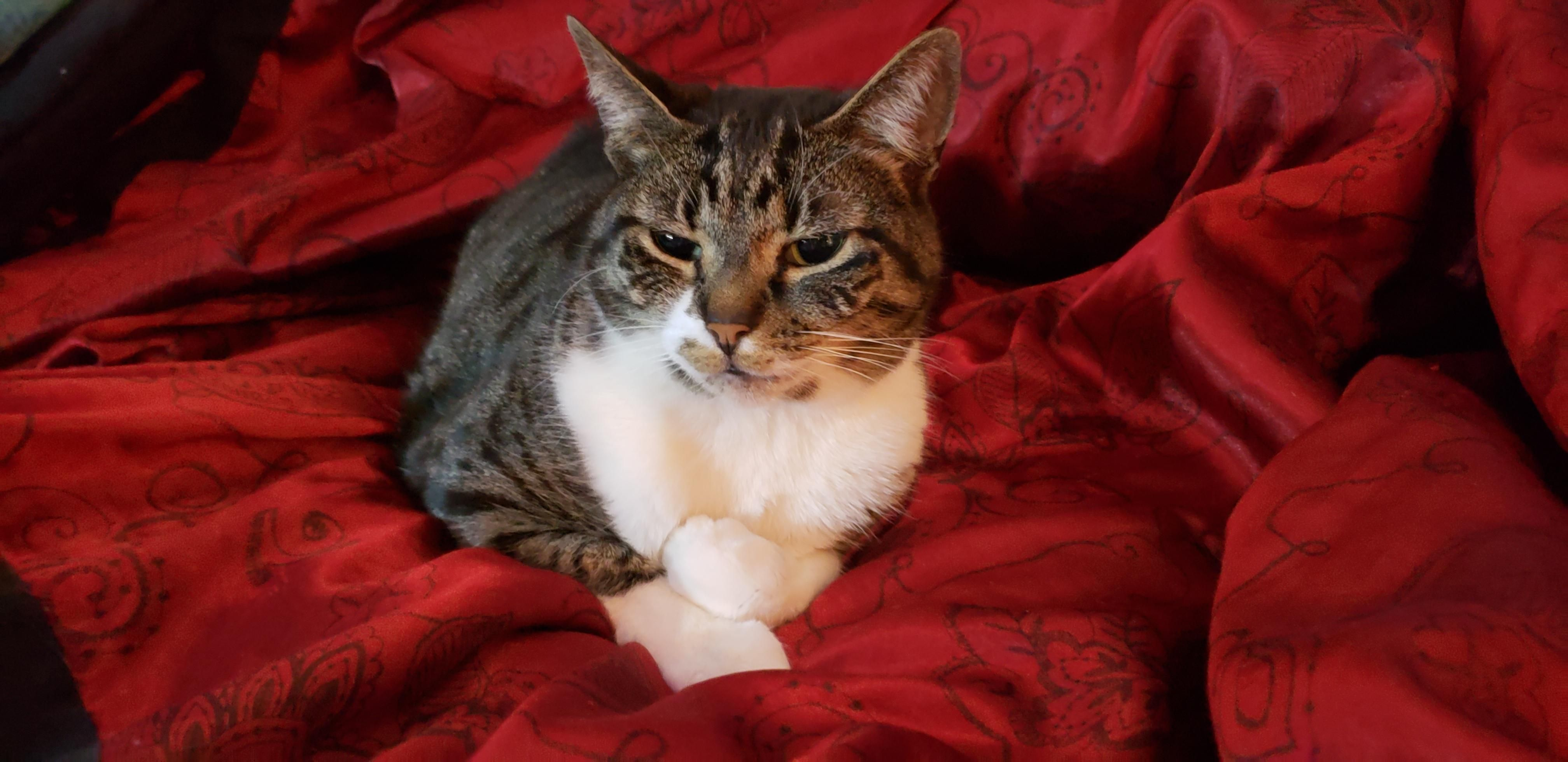 Nyx The Classy Loaf Kitten Pictures Cat Rescue Cats