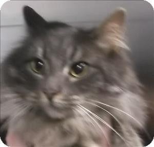 Silverdale Wa Domestic Longhair Meet Lyrical A Cat For Adoption Catscatscats Pets Pet Adoption Kittens