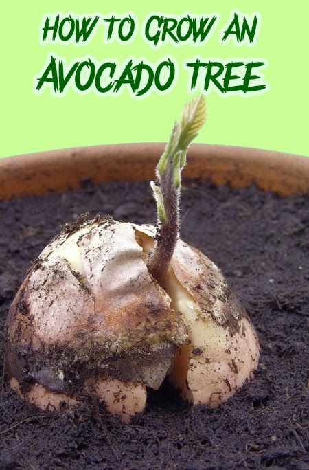 how to grow an avocado tree plantas pinterest pflanzen g rten und mein garten. Black Bedroom Furniture Sets. Home Design Ideas