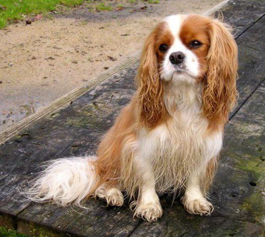 The Canine Roommate Top 10 Best Dog Breeds For Apartment Living King Charles Cavalier Spaniel Puppy King Charles Spaniel Cavalier King Charles