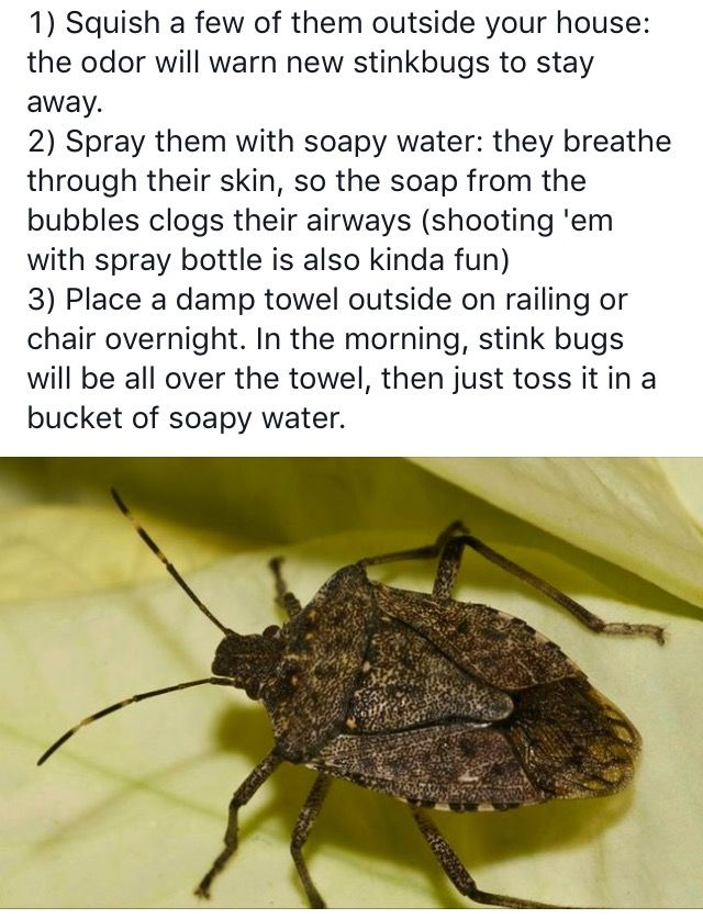 How to get rid of stink bugs dawn the soapy water spray - How to get rid of stink bugs in garden ...