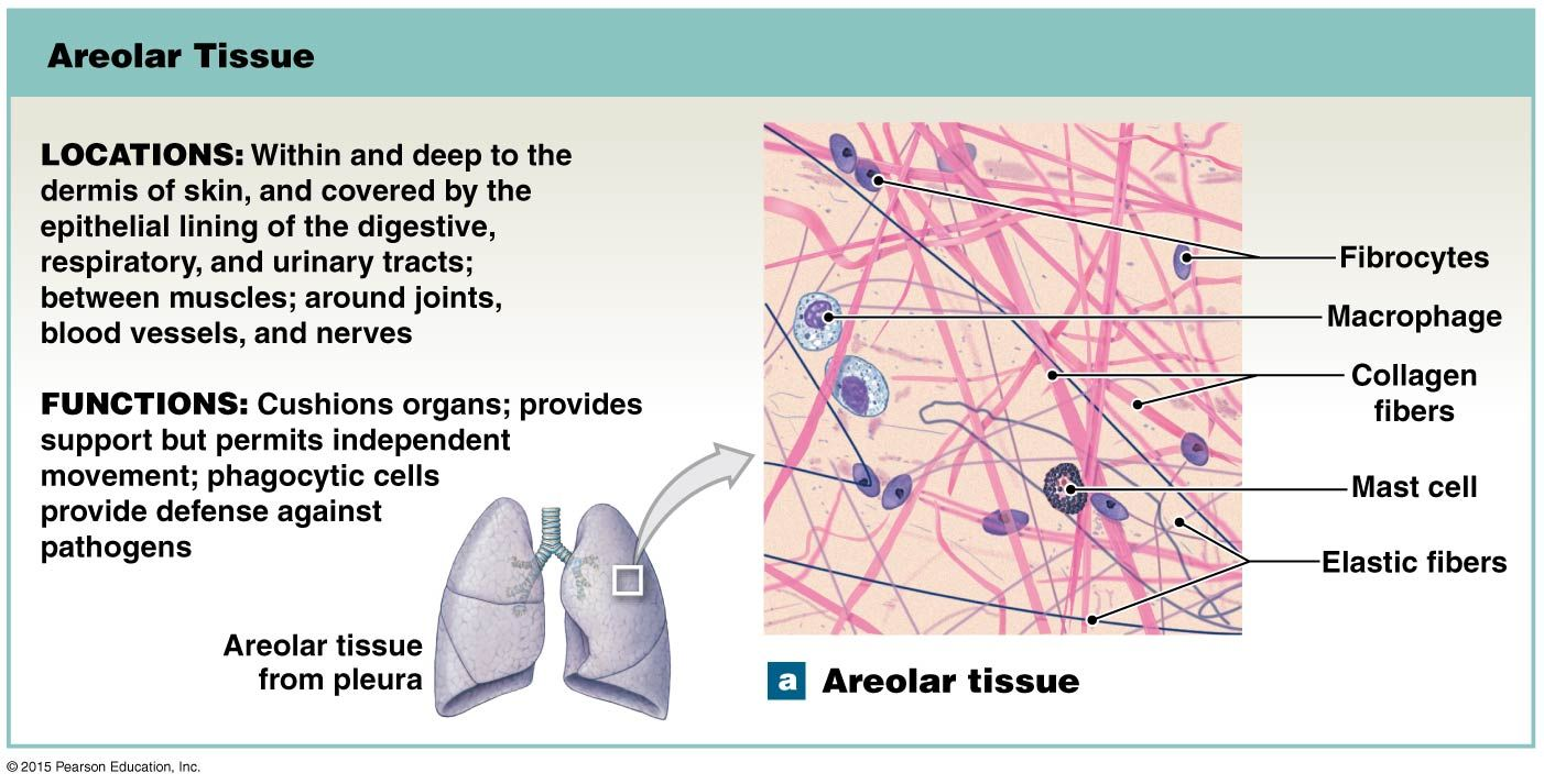 50eaafbeab2baa79f777f2e1bfa8bacf areolar tissue anatomy and physiology diagrams pinterest
