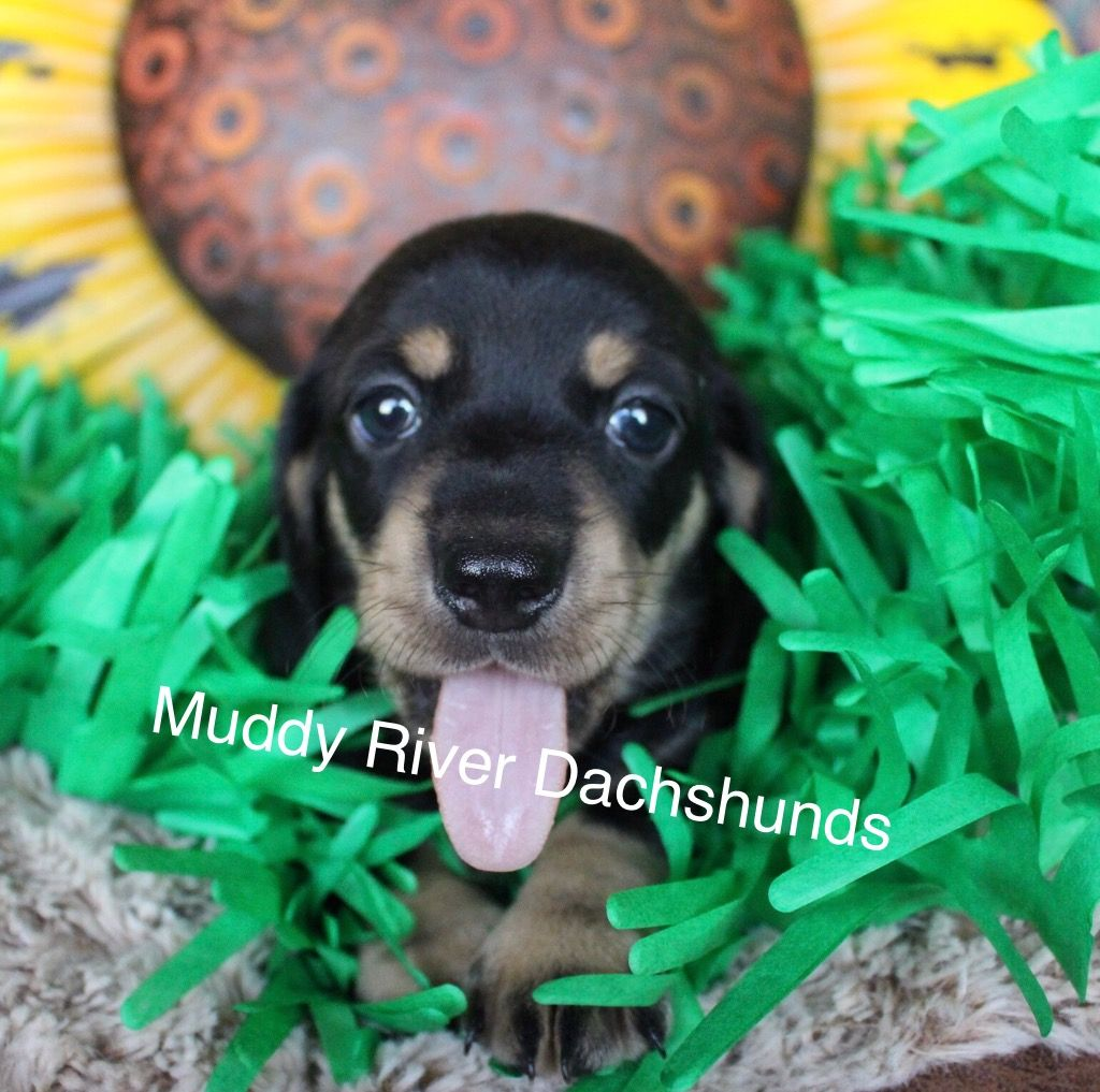 Akc Breeder Of Dachshunds Muddy River Dachshund Summer Puppies