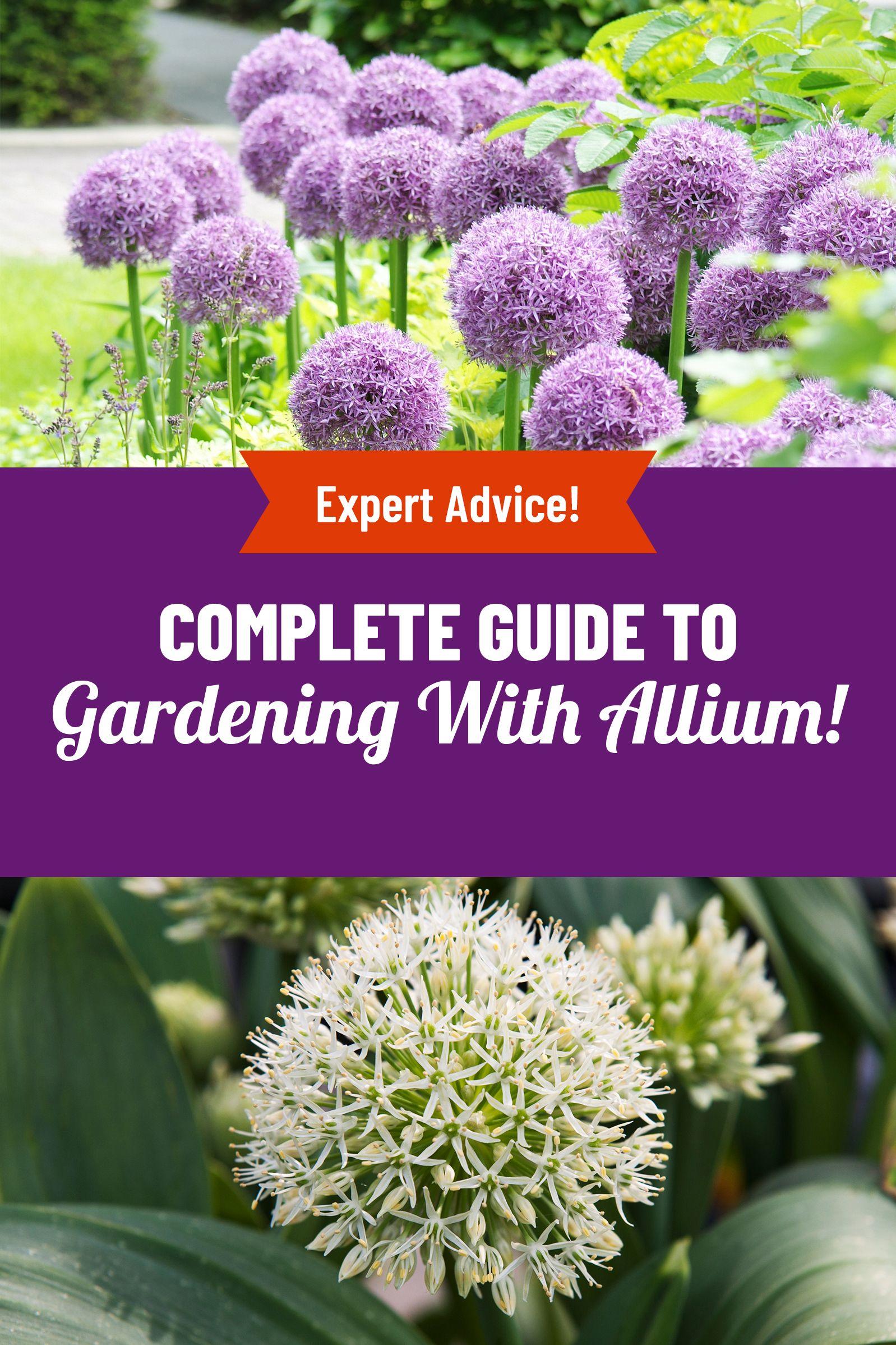 Growing Allium In 2020 Allium Flowers Planting Bulbs Plants