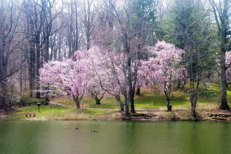 Cherry Blossoms At Holmdel Park 02 Cherry Blossom Trees Surrounding The Lake A Spon Park Blossom Cherry Holmdel Park Blossom Trees Cherry Blossom