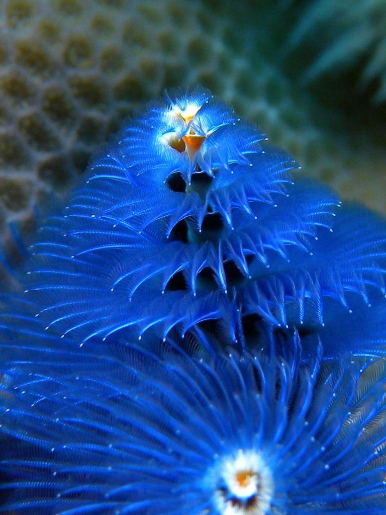 Spirobranchus Giganteus Animals Beautiful Ocean Creatures Ocean Life