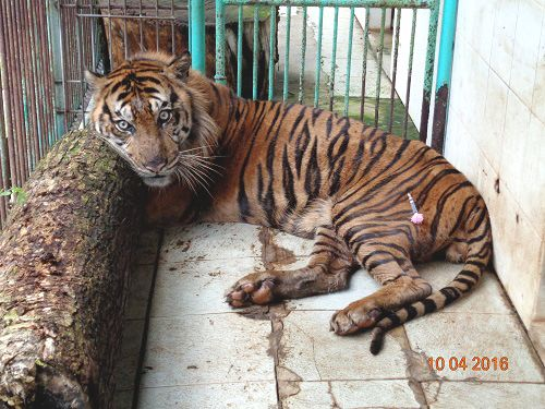 Indonesia: Rama a day before his death. Photo courtesy of the Surabaya Zoo