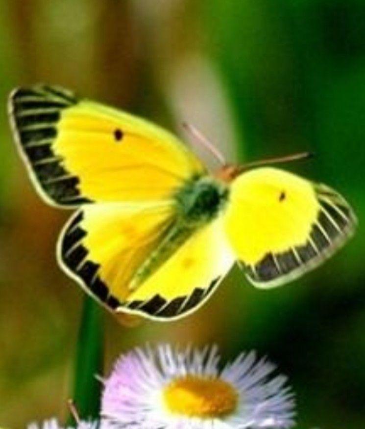 Pin Von Jana Tille Auf Schmetterlinge Schmetterling Falter Blumen Pflanzen
