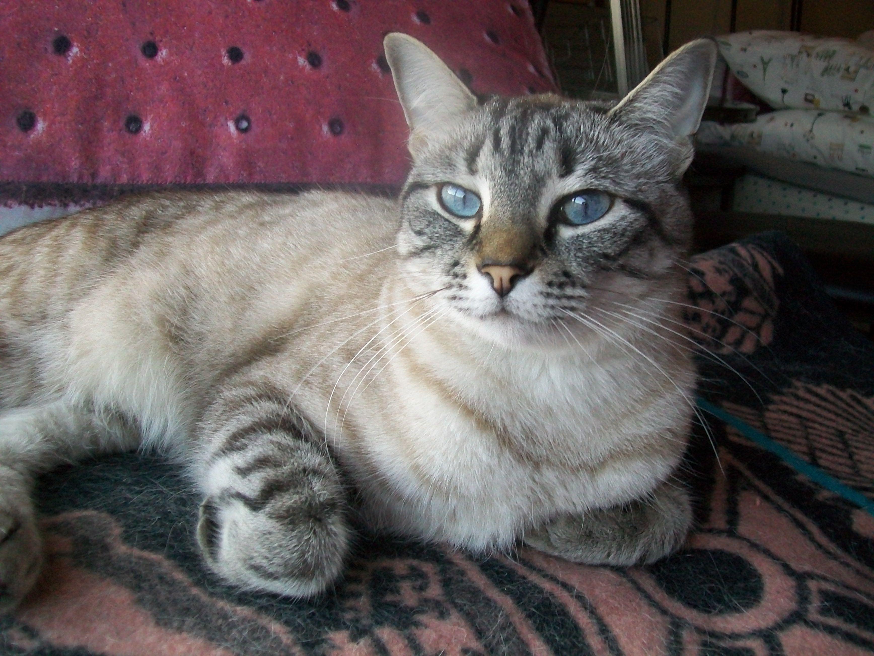 Blue eyes my lynx point siamese furry children for Siamese 9 electric motor
