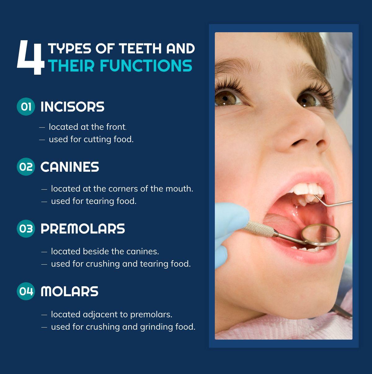 4 Types Of Teeth And Their Functions Typesofteeth