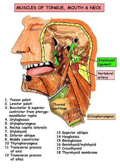 mouth physiology anatomy and physiology head and neck muscles of ...