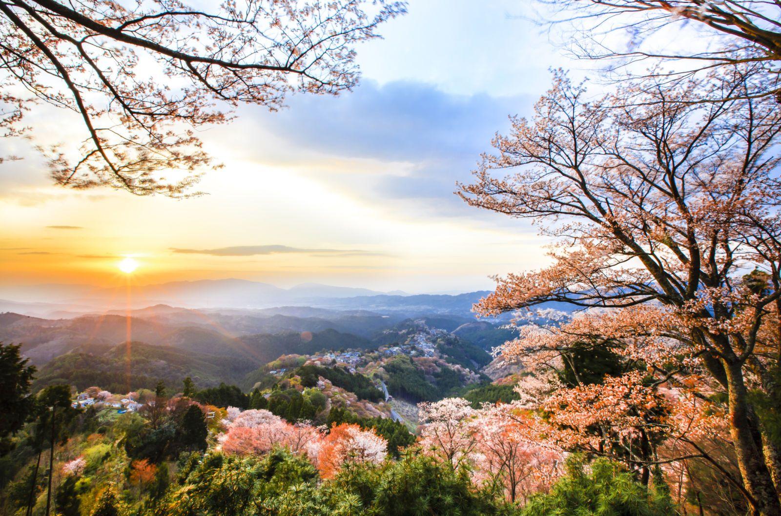 Cherry Blossom Tree Facts That You Definitely Never Knew Before Blossom Trees Cherry Blossom Cherry Blossom Tree