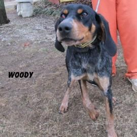 Black And Tan Coonhound Bluetick Coonhound Mix Adult Male