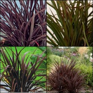 Flax Purple Phormiums Very Hearty For Pots In Pool As Well Along Yard Edge