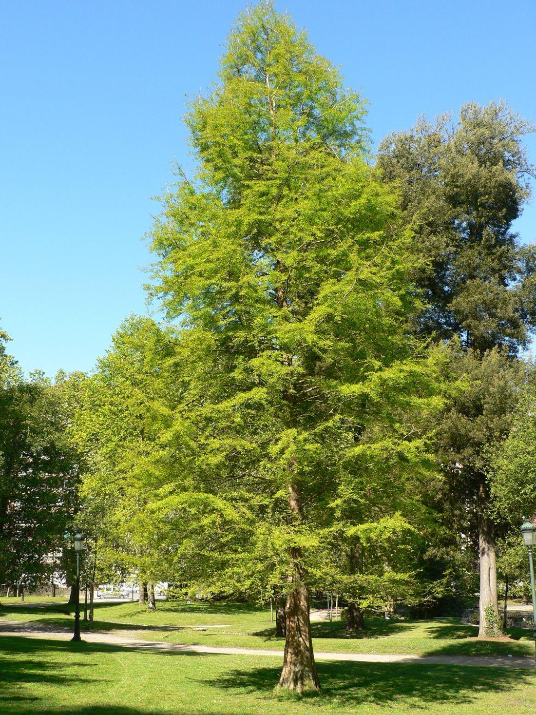 Taxodium distichum cipres calvo plantitas pinterest for Jardin cipres