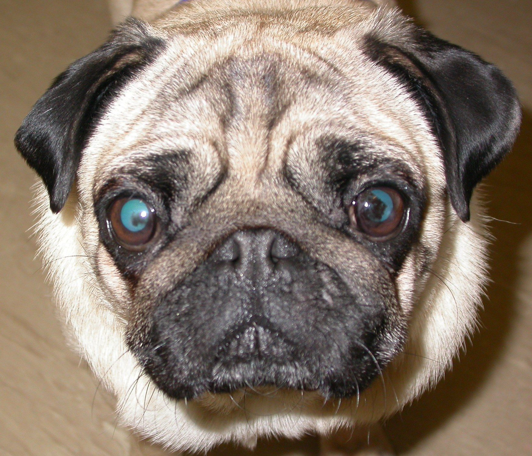 A Pug Pigment Problem Dog Health Problems Pugs