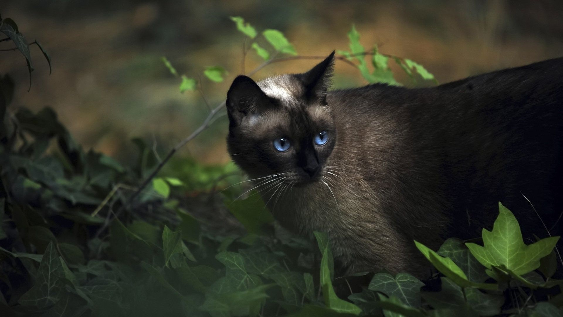 Dark Siamese cat (With images) Pets cats, Siamese cats