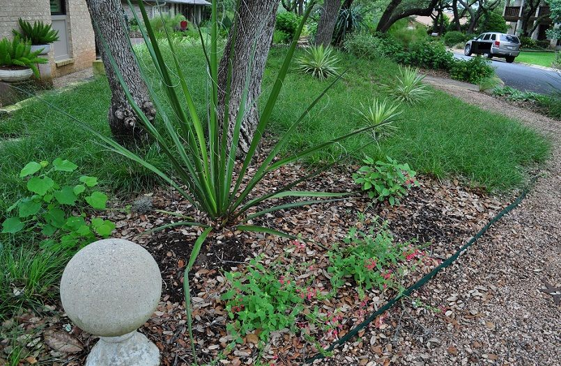 Looking lengthwise across the front yard, the dominant feature is a Berkeley sedge lawn. A giant hesperaloe anchors one end near a cluster of live oaks. A broad, curving path of decomposed granite leads through the front garden.