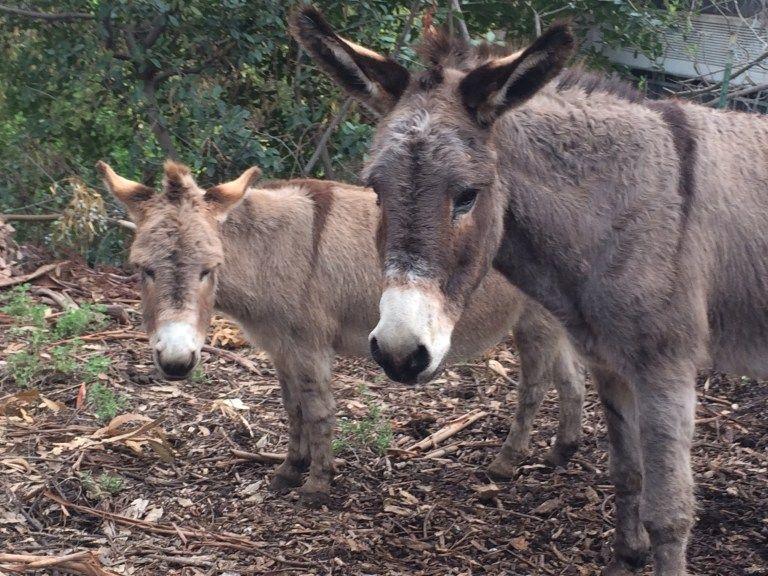 Barron park donkeys palo altos local equine celebrities