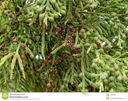 Image result for TREES OF SAO MIGUEL AZORES