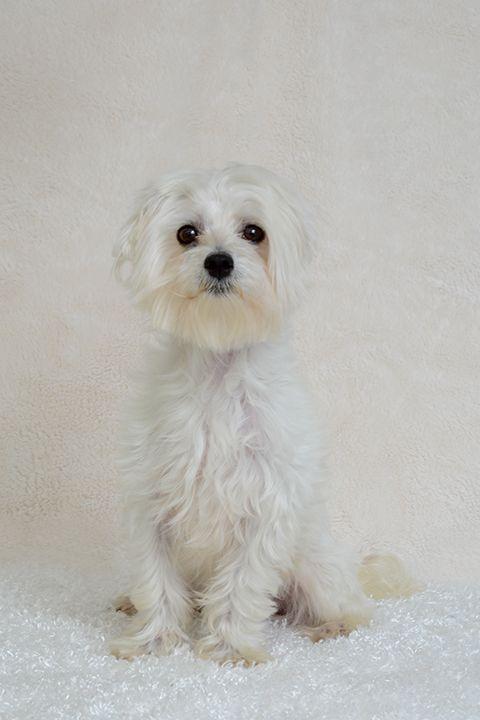 Maltese Dog For Adoption In Weston Fl Adn 417077 On Puppyfinder