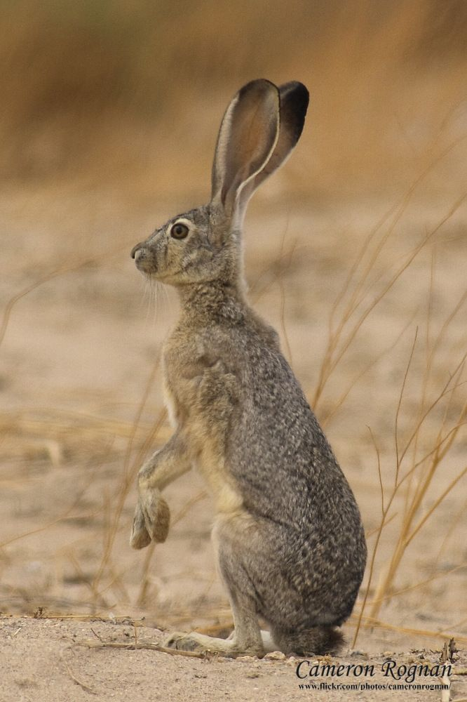 Quit frequently, SERENA use to chase them in Lubbock Tx. The Texas Tech Ranching Heritage had a high population of Jack Rabbits. They grow as big as dogs... THEIR HUGE!!! Havent seen any rabbits in the city, Austin Texas :(