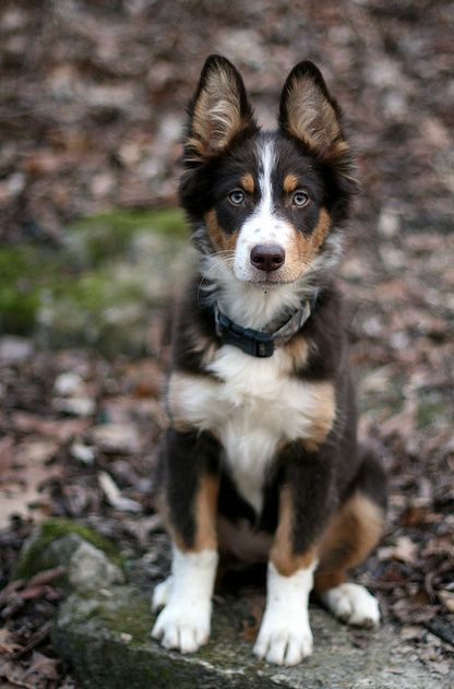 German Australian Shepherd I Need This Dog Australian Shepherd Mix Australian Shepherd Mixed Breed Dogs
