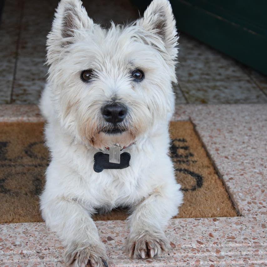 Best Friend Since 12 Years Peppi Berti Westie Westhighlandwhiteterrier Ahumansbestfriend D In 2020 Westie Dogs West Highland White Terrier West Highland Terrier