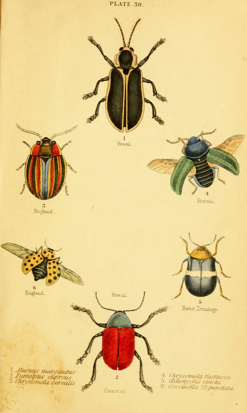 Vintage Ephemera: Woodcut colored plate, beetles, 1852