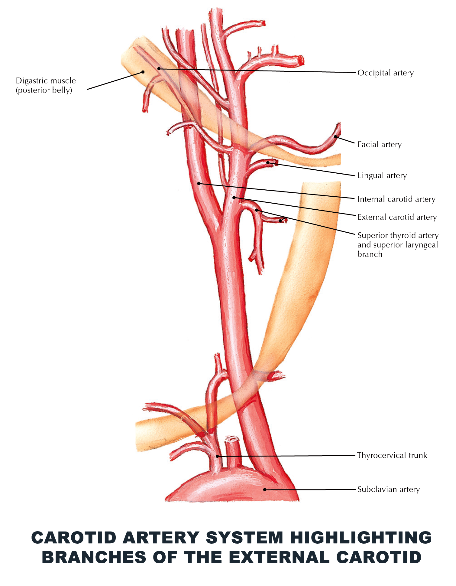 Carotid artery system highlighting branches of the external carotid ...