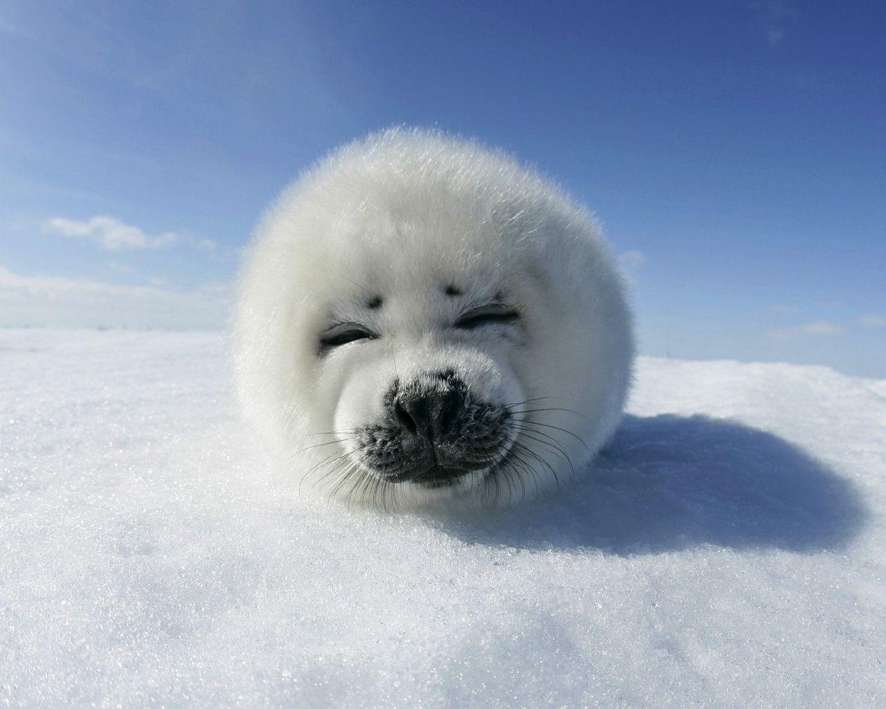 Seal 1280x1024 Harp Seal Pup Desktop Pc And Mac Wallpaper