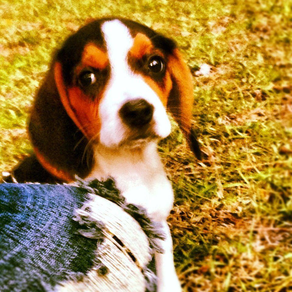 Beagle Puppy Shiloh Beagle Pictures Beagle Beagle Puppy