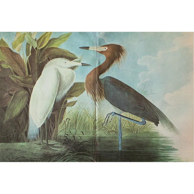 1966 Cottage Print Of Purple Heron By John James Audubon John