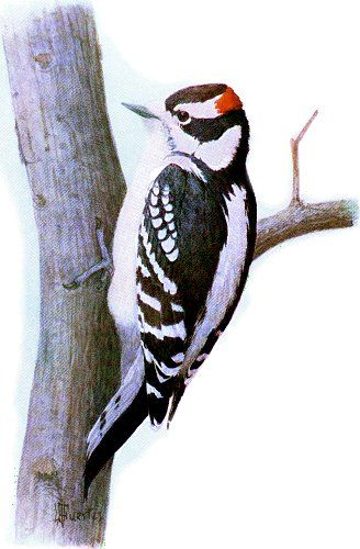 Downy Woodpecker Birds Painting Woodpecker Watercolor