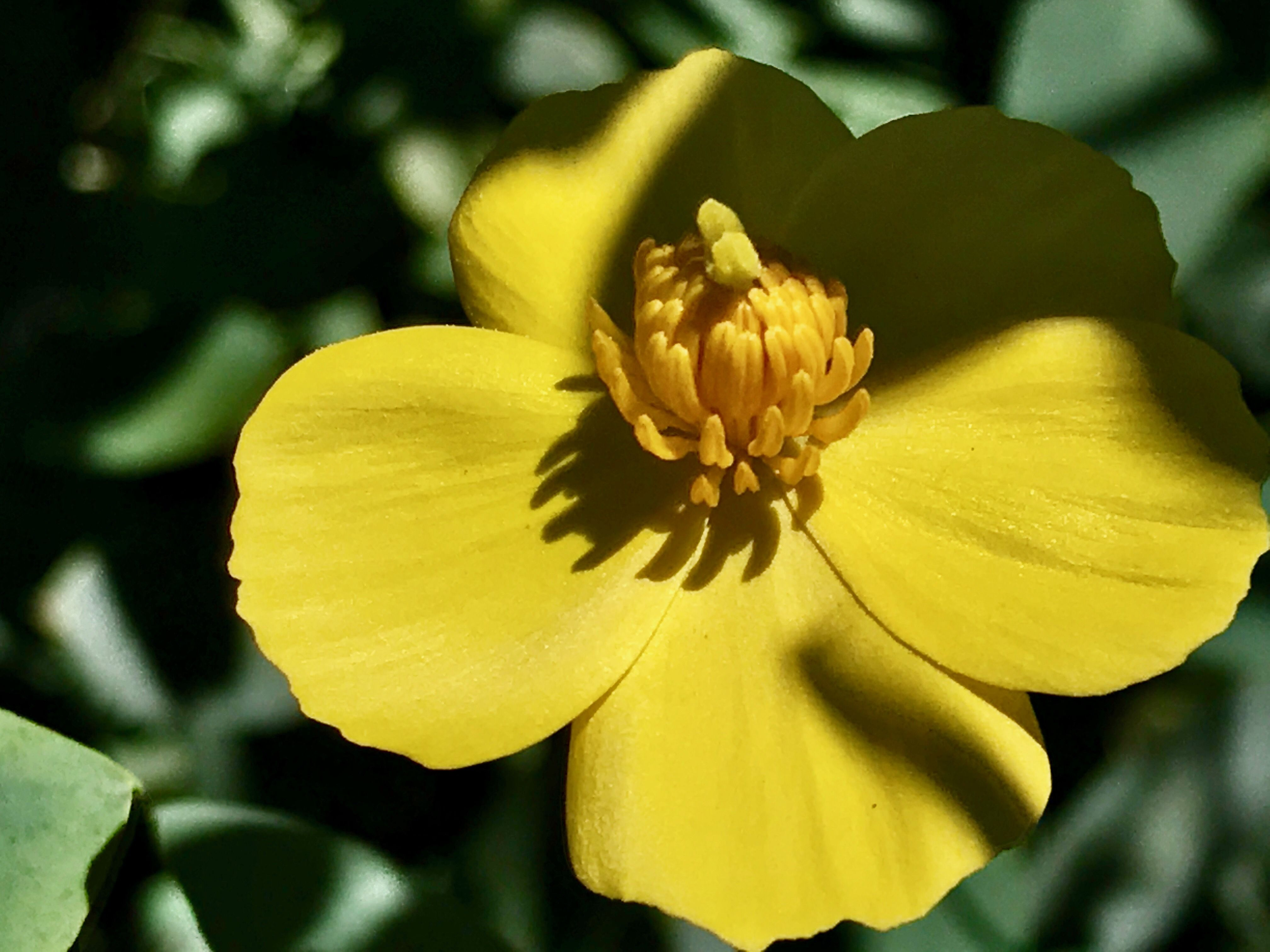 Buttercups Include A Wide Variety Of Flower Types Grouped By A System In The Genus Ranunculus Among Them Are The Meadow Types Of Flowers The Meadows Flowers