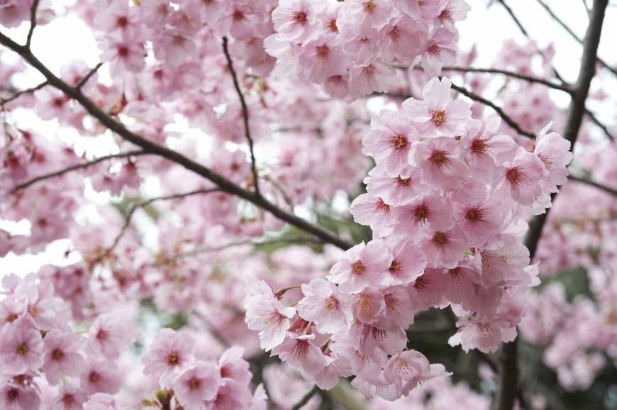 Cherry Blossom Hanami Japan Adventures Traveldiaries Travel Wanderlust Summer Tour Expedition Destination Sakura Cherry Blossom Tokyo Cherry Hanami