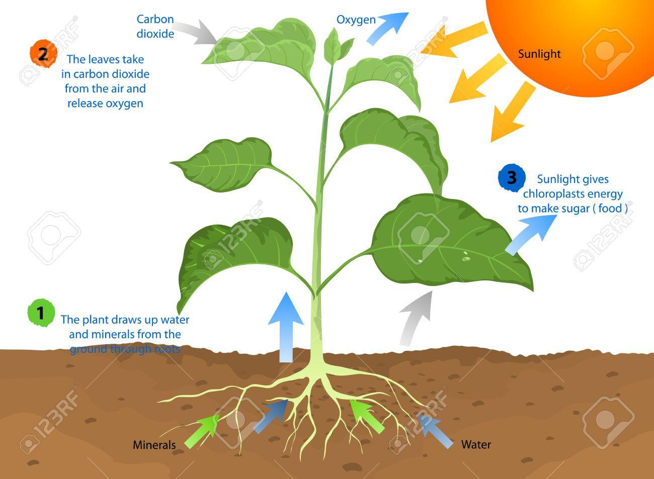 Imagenes De La Fotosintesis Photosynthesis Photosynthesis Projects Photosynthesis And Cellular Respiration