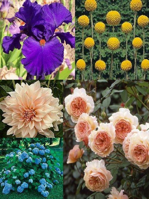 roses dahlia s billy balls iris june flowers pinterest rh pinterest co uk
