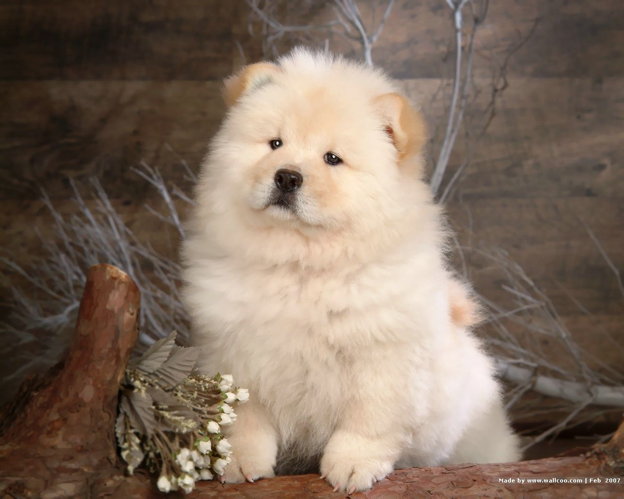 Chow Chow Puppy Wallpaper Omg Hes Soooooooooo Cute Puppies