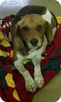 Martinsburg, WV - Beagle Mix. Meet Cooper, a dog for adoption. http://www.adoptapet.com/pet/16765815-martinsburg-west-virginia-beagle-mix